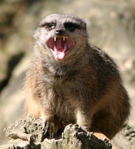 Angry meerkat