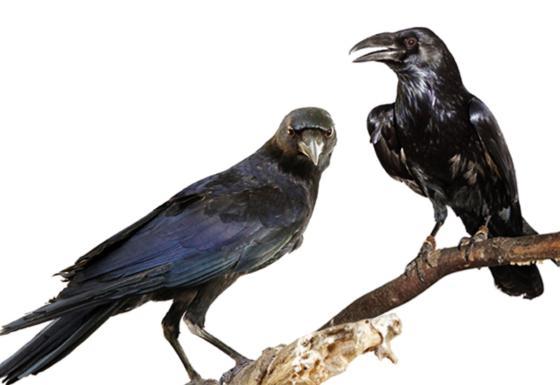 w1_crow_raven_copy.jpg