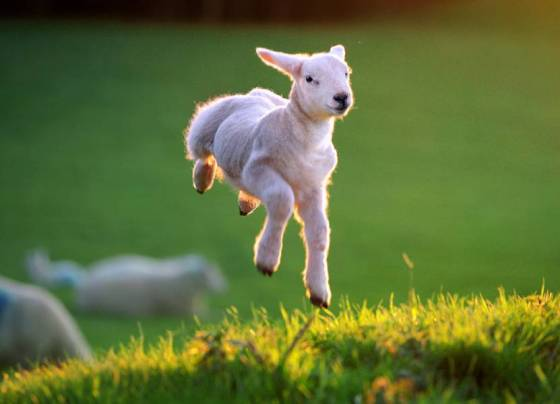 spring-lamb-1.jpg